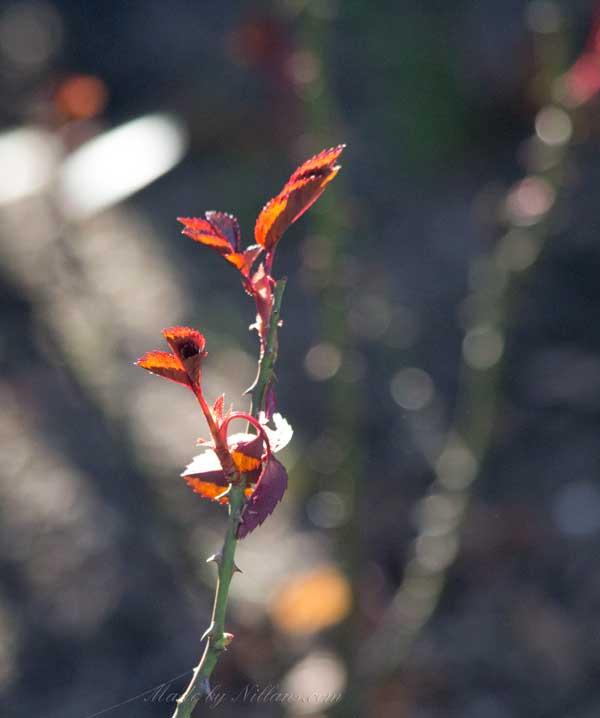 Rosorna sträcker sina späda blad mot solen.
