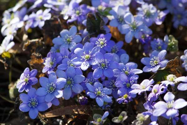 Ljuvliga blåsippor blommade för fullt på flera gravar. Vackert.