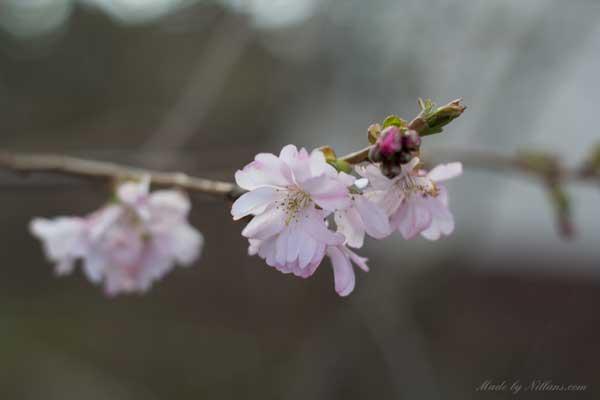 Ljuvliga blommor! Tror det är ett sorts körsbärsträd.