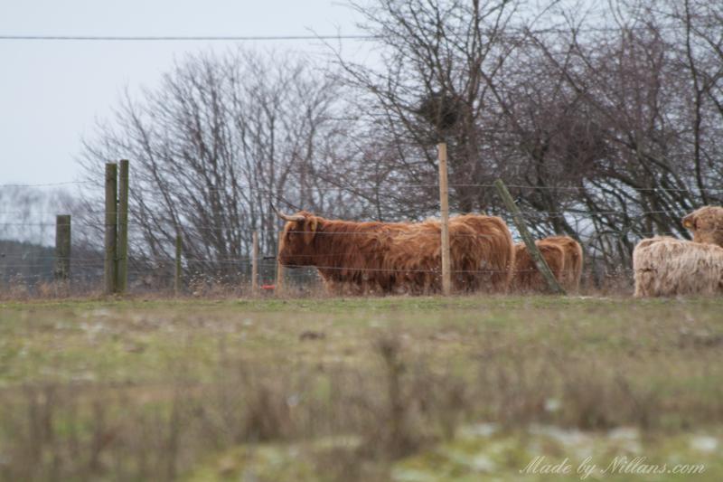 Det gick! Jag kom över! Glad över att Highland cattle befann sig i liten hage och inte ute där jag gick...